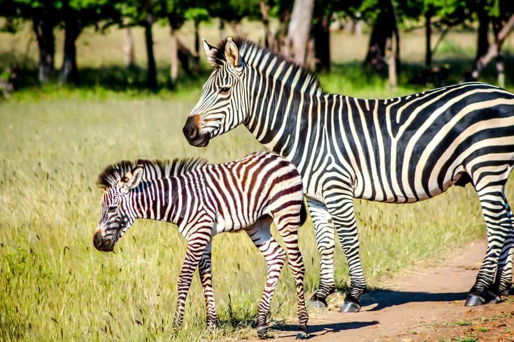 Victoria Falls | Sanctuary Sussi & Chuma | Africa Safari | Zebra | Bubbly Moments