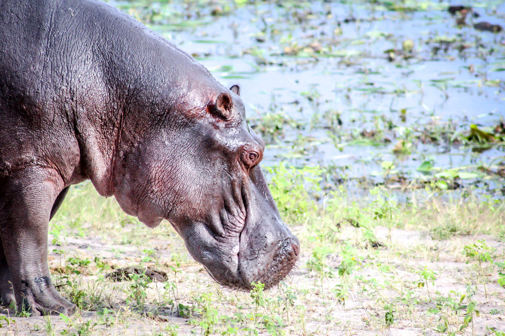 Hippo | Safari | Botswana | Chobe National Park | Sanctuary Chobe Chilwero Camp | Bubbly Moments