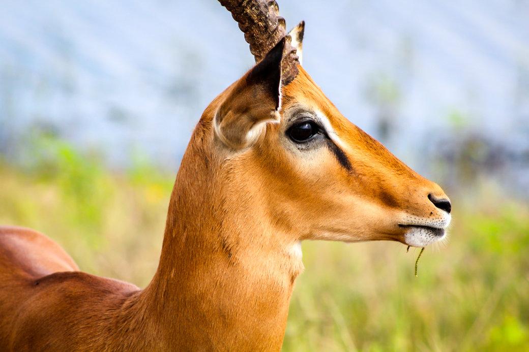 Impala | Safari | Botswana | Chobe National Park | Sanctuary Chobe Chilwero Camp | Bubbly Moments
