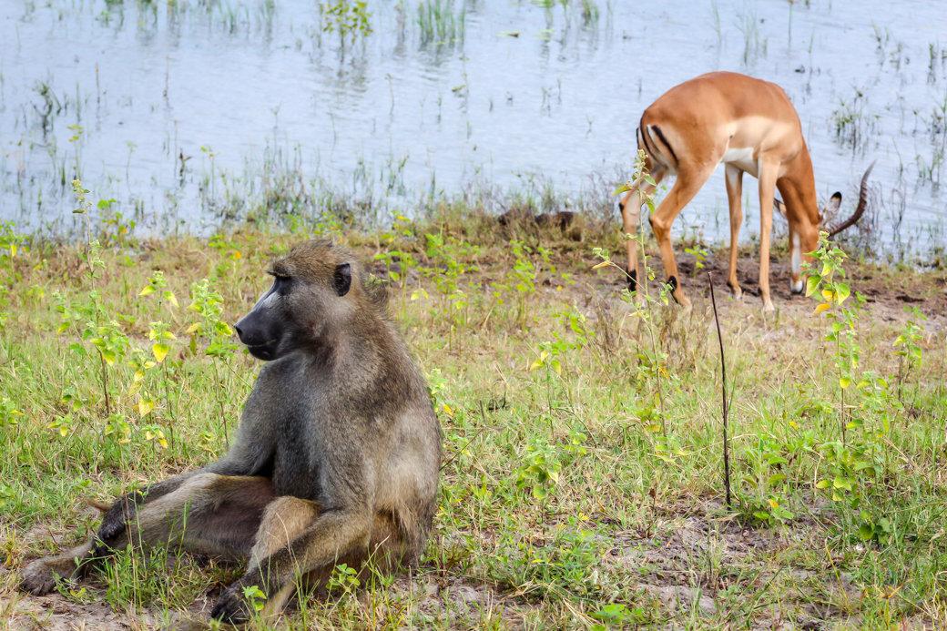 Baboon | Safari | Botswana | Chobe National Park | Sanctuary Chobe Chilwero Camp | Bubbly Moments