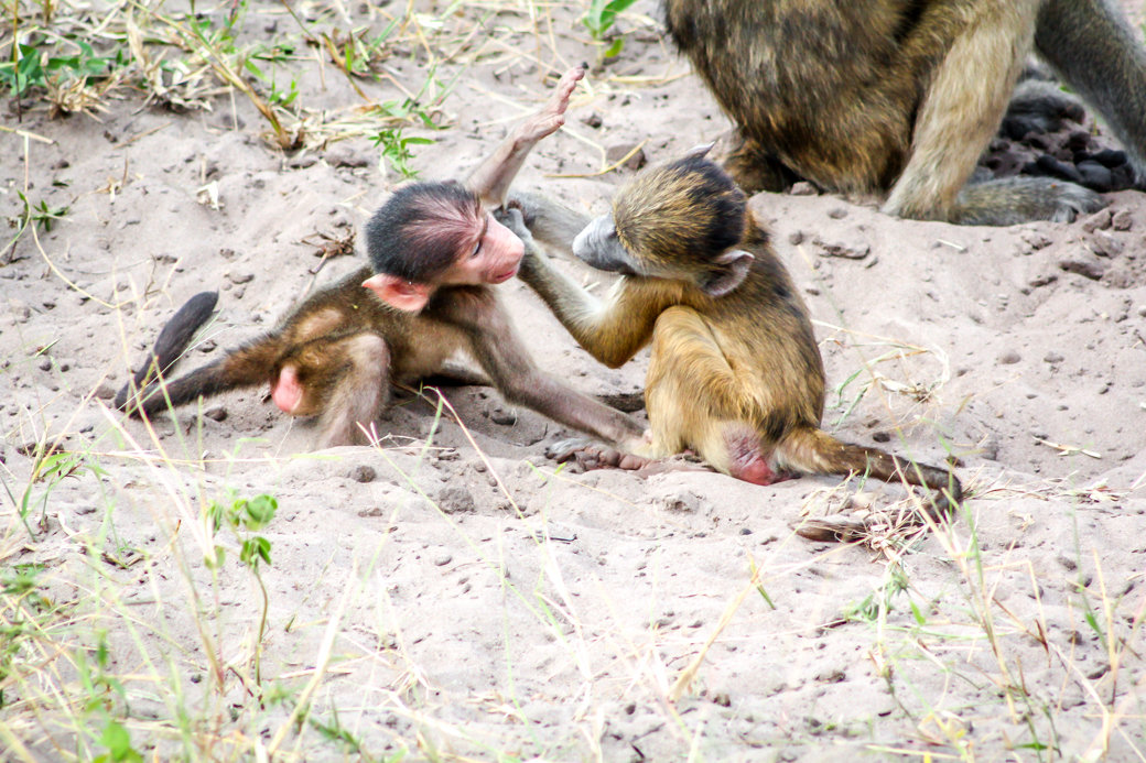 Baboons | Safari | Botswana | Chobe National Park | Sanctuary Chobe Chilwero Camp | Bubbly Moments